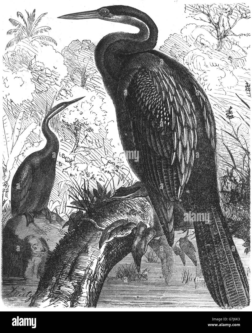 Anhinga, Anhinga anhinga, snakebird, American darter, illustration from book dated 1904 Stock Photo