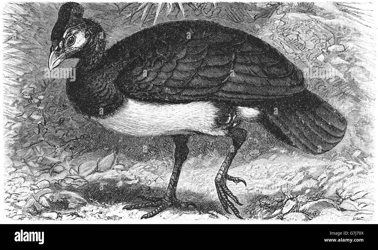 Maleo, Macrocephalon maleo, illustration from book dated 1904 - Stock Image