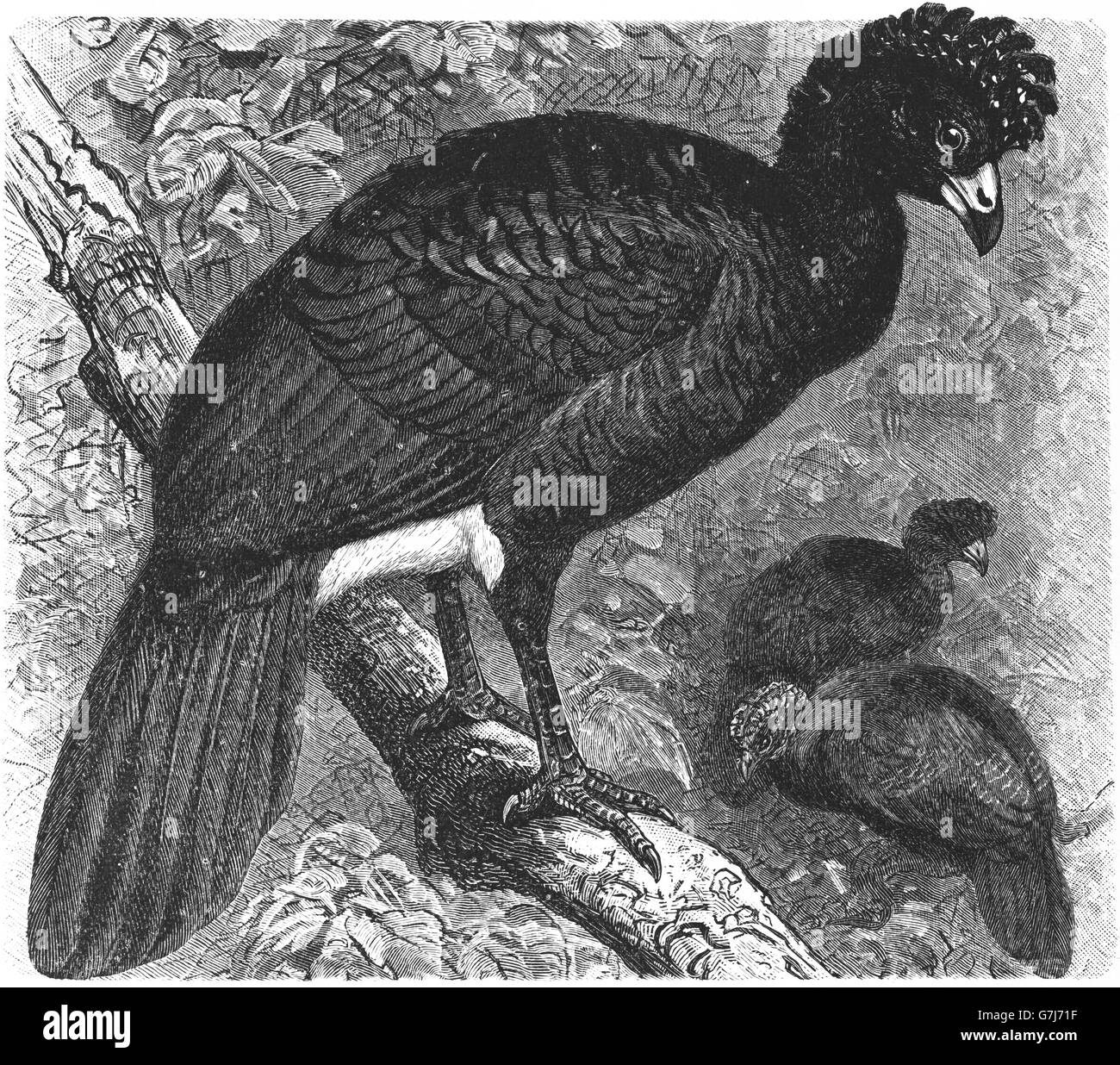 Black curassow, Crax alector, smooth-billed curassow, crested curassow, illustration from book dated 1904 - Stock Image