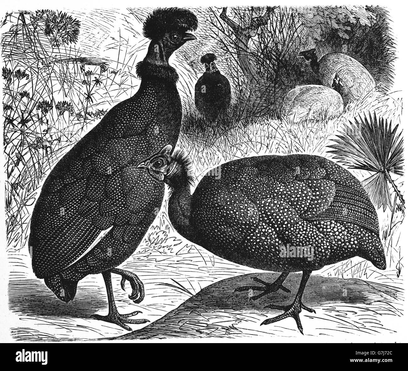 Crested guineafowl, Guttera pucherani and helmeted guineafowl, Numida meleagris, illustration from book dated 1904 - Stock Image