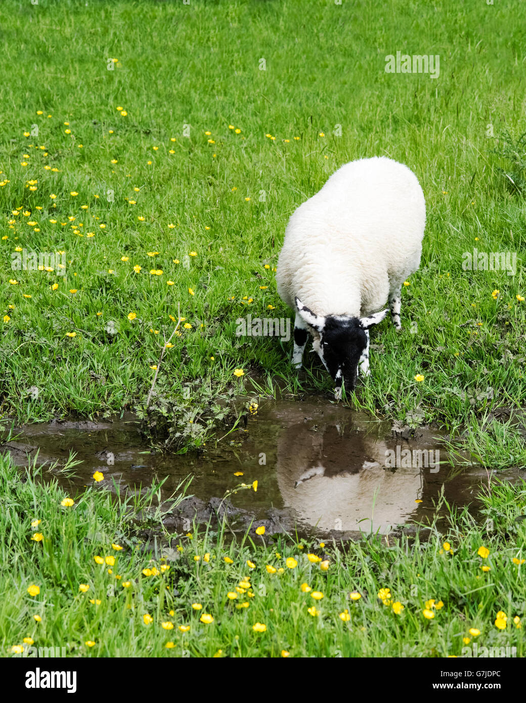 A Suffolk lamb drinking from a muddy puddle beside the Teesdale Way, County Durham, England, UK - Stock Image