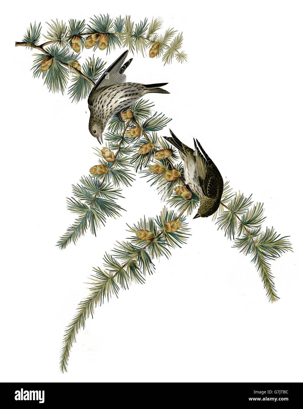 Pine Siskin, Carduelis pinus, birds, 1827 - 1838 - Stock Image