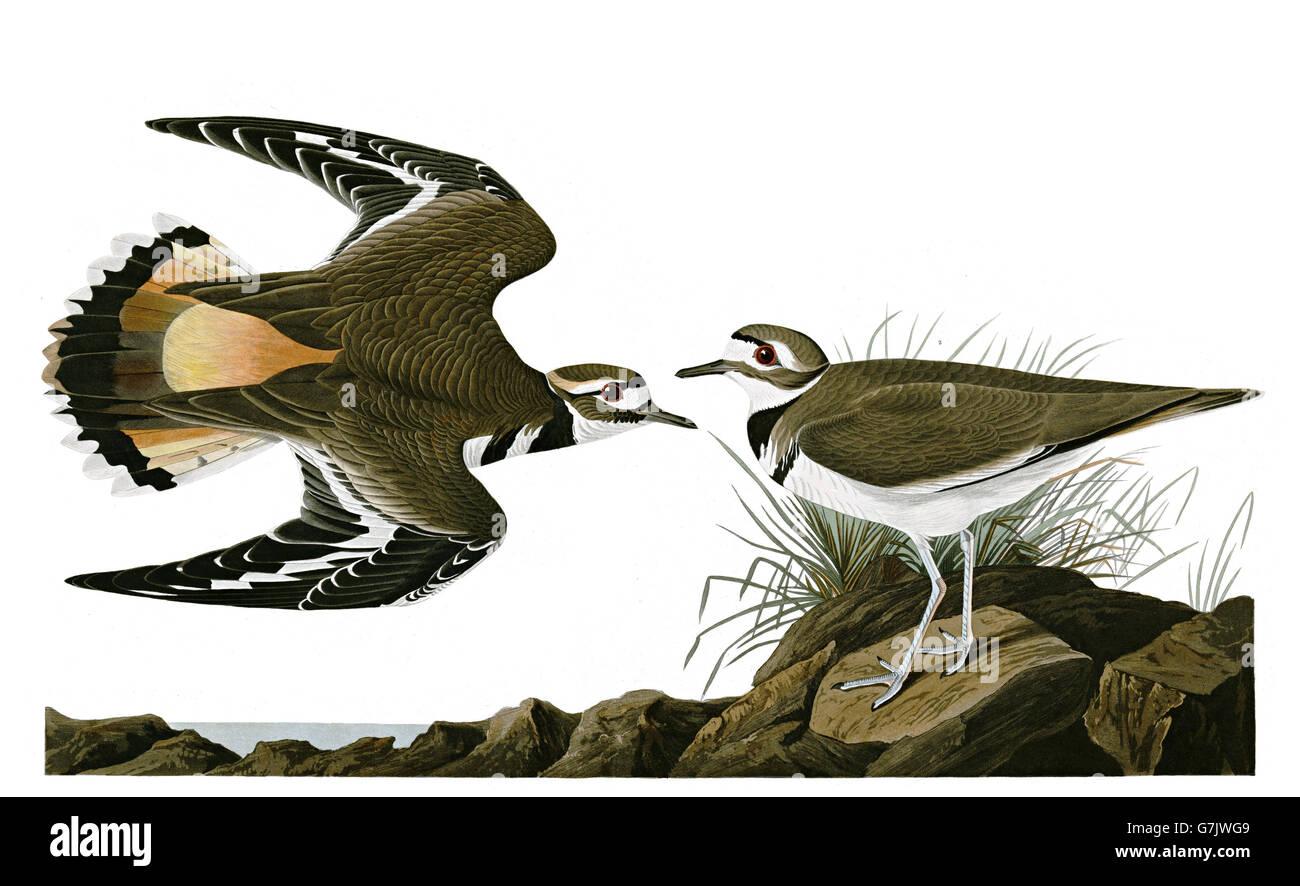 Killdeer, Charadrius vociferus, birds, 1827 - 1838 - Stock Image