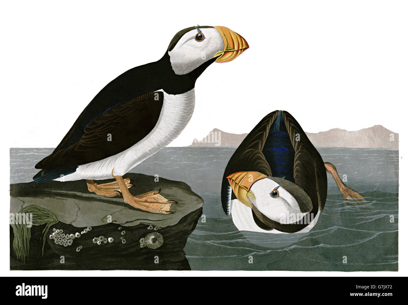 Horned Puffin, Fratercula corniculata, birds, 1827 - 1838 Stock Photo