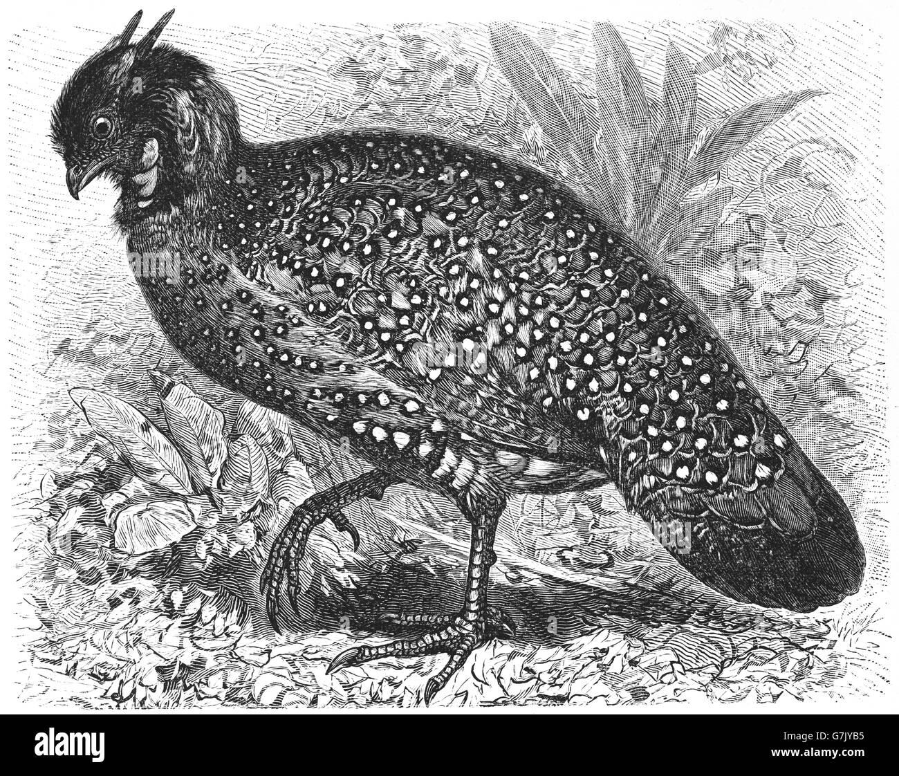 Pheasant Bird Illustration Stock Photos & Pheasant Bird Illustration ...