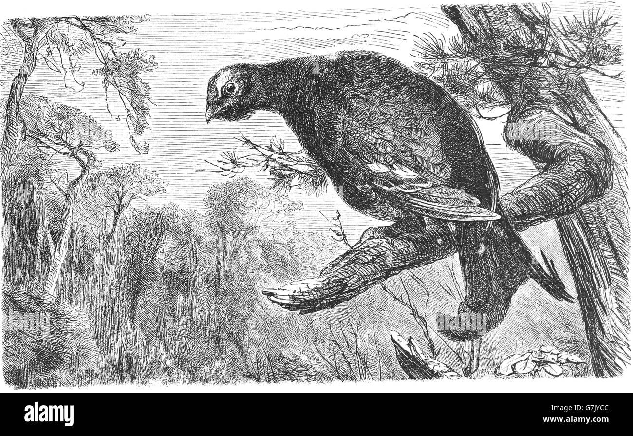 Black grouse, blackgame, blackcock, Tetrao tetrix, illustration from book dated 1904 - Stock Image