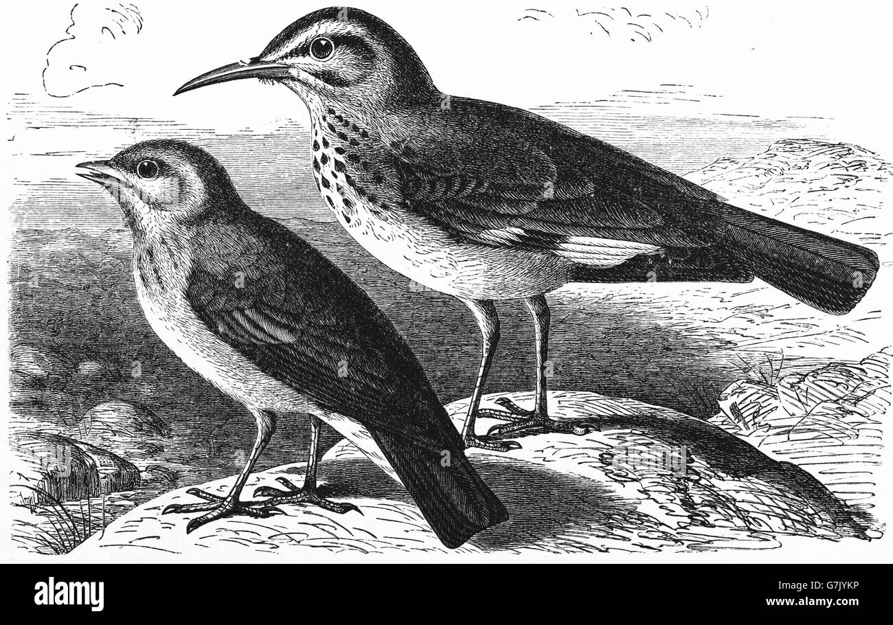 Desert lark, Ammomanes deserti and greater hoopoe-lark, Alaemon alaudipes, illustration from book dated 1904 - Stock Image