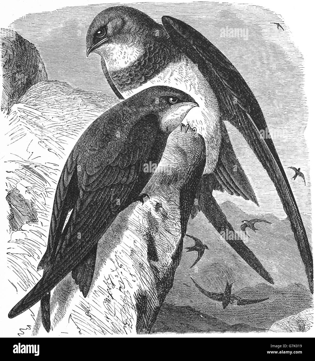 Alpine swift, Tachymarptis melba and Common swift, Apus apus, illustration from book dated 1904 Stock Photo