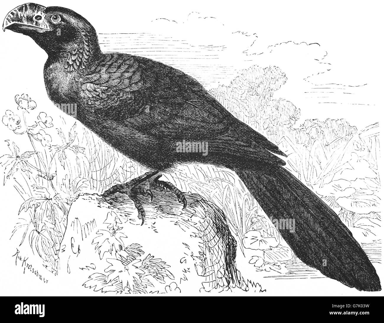Smooth-billed ani, Crotophaga ani, illustration from book dated 1904 - Stock Image