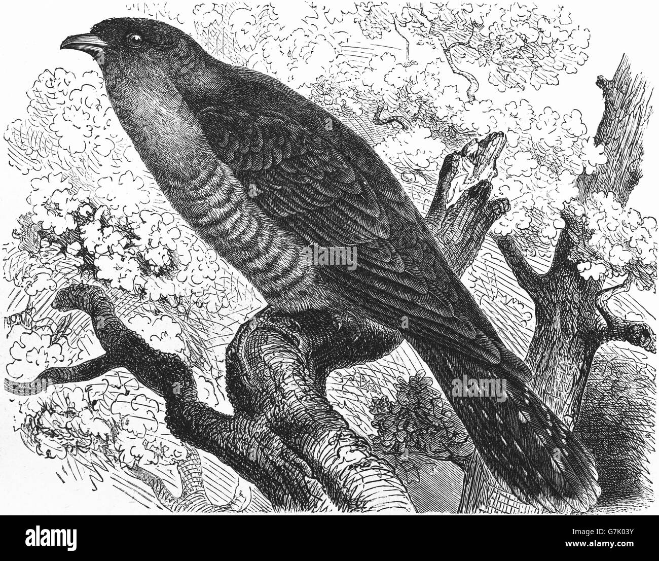 Common cuckoo, Cuculus canorus, illustration from book dated 1904 - Stock Image