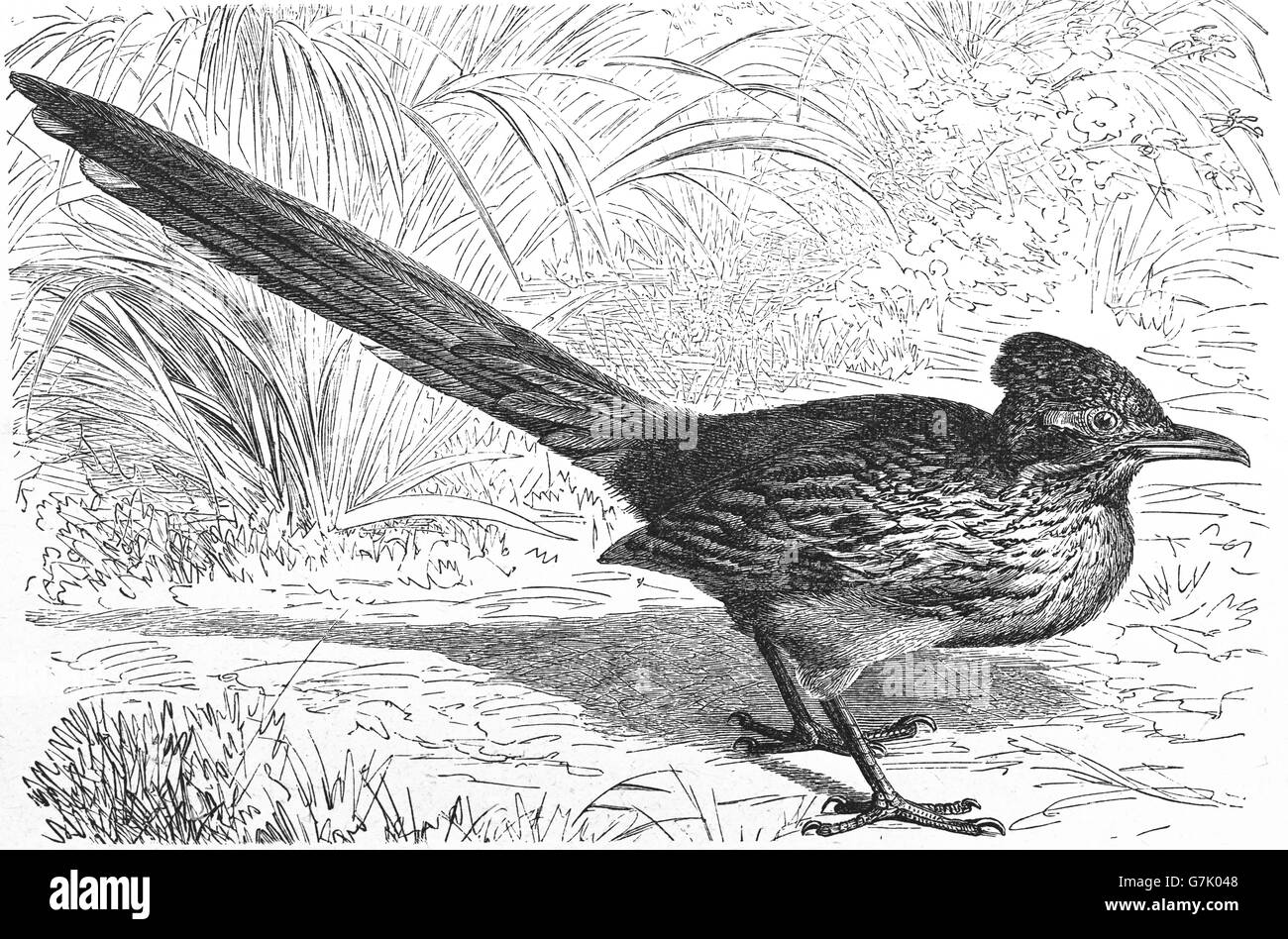 Greater roadrunner, Geococcyx californianus, illustration from book dated 1904 Stock Photo
