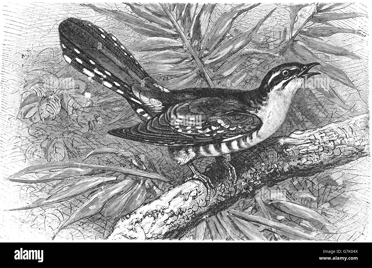 Diederik cuckoo, Chrysococcyx caprius, illustration from book dated 1904 - Stock Image