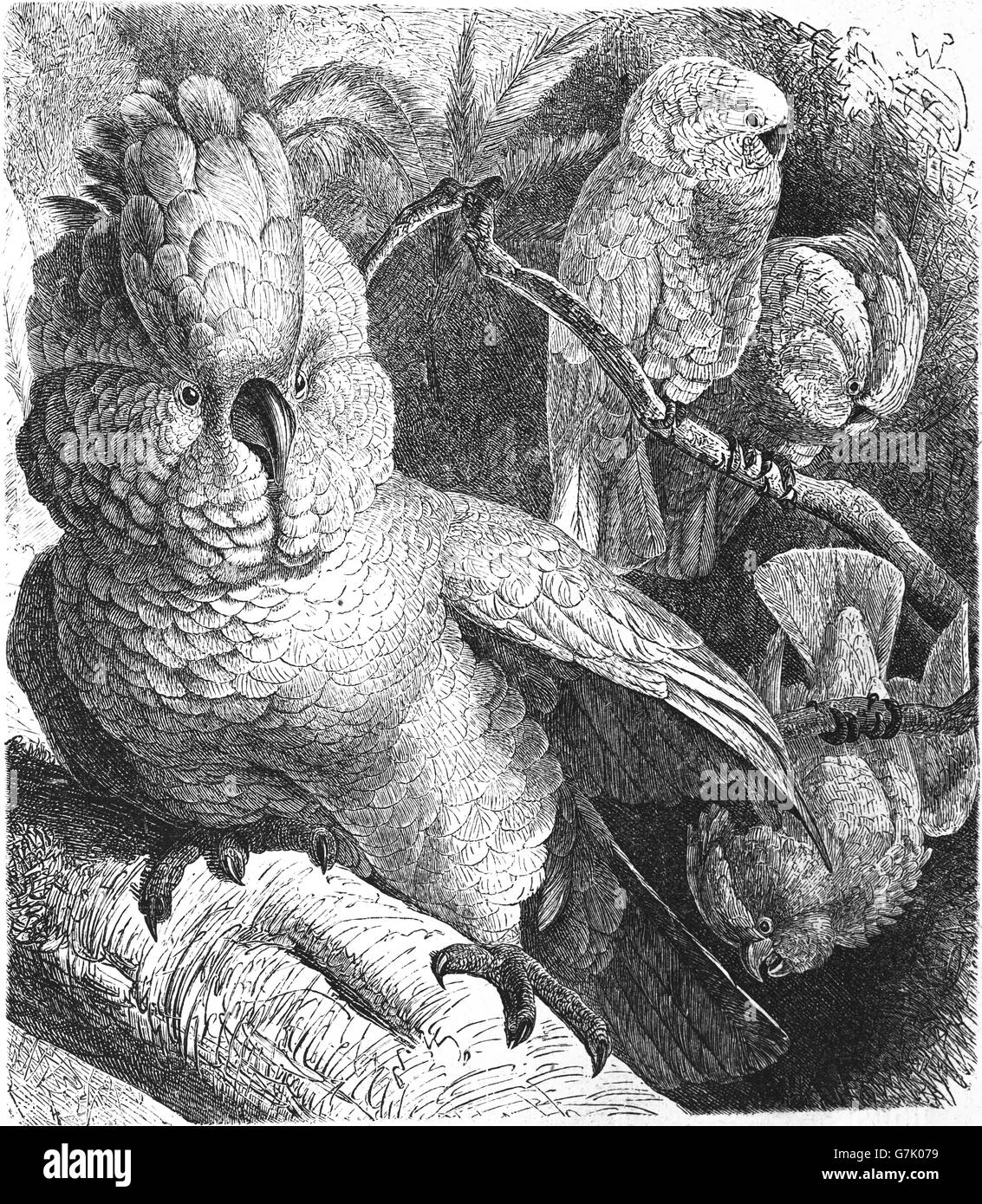 Salmon-crested cockatoo, Cacatua moluccensis, Moluccan cockatoo, illustration from book dated 1904 - Stock Image