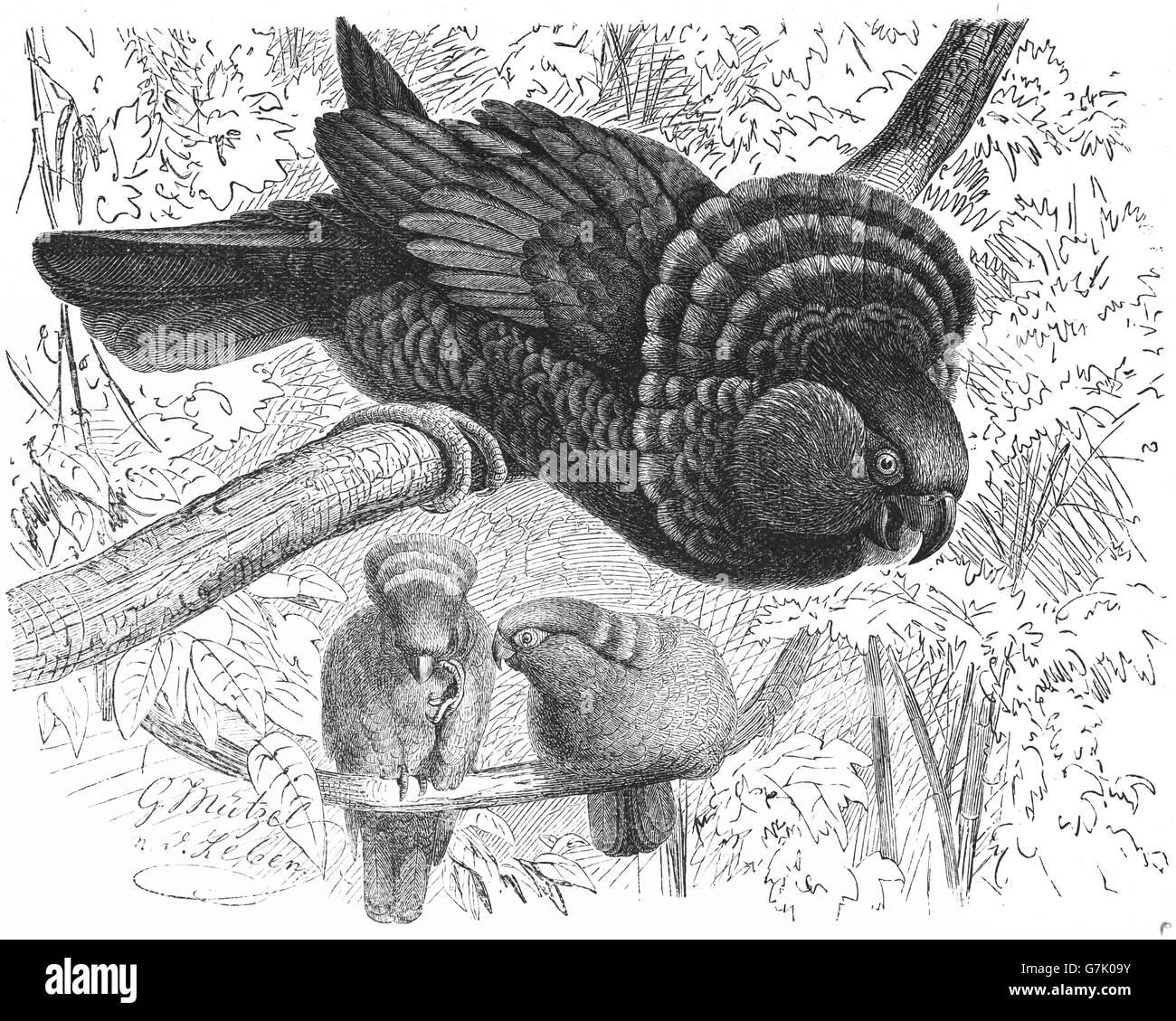 Red-fan parrot, Deroptyus accipitrinus, hawk-headed parrot