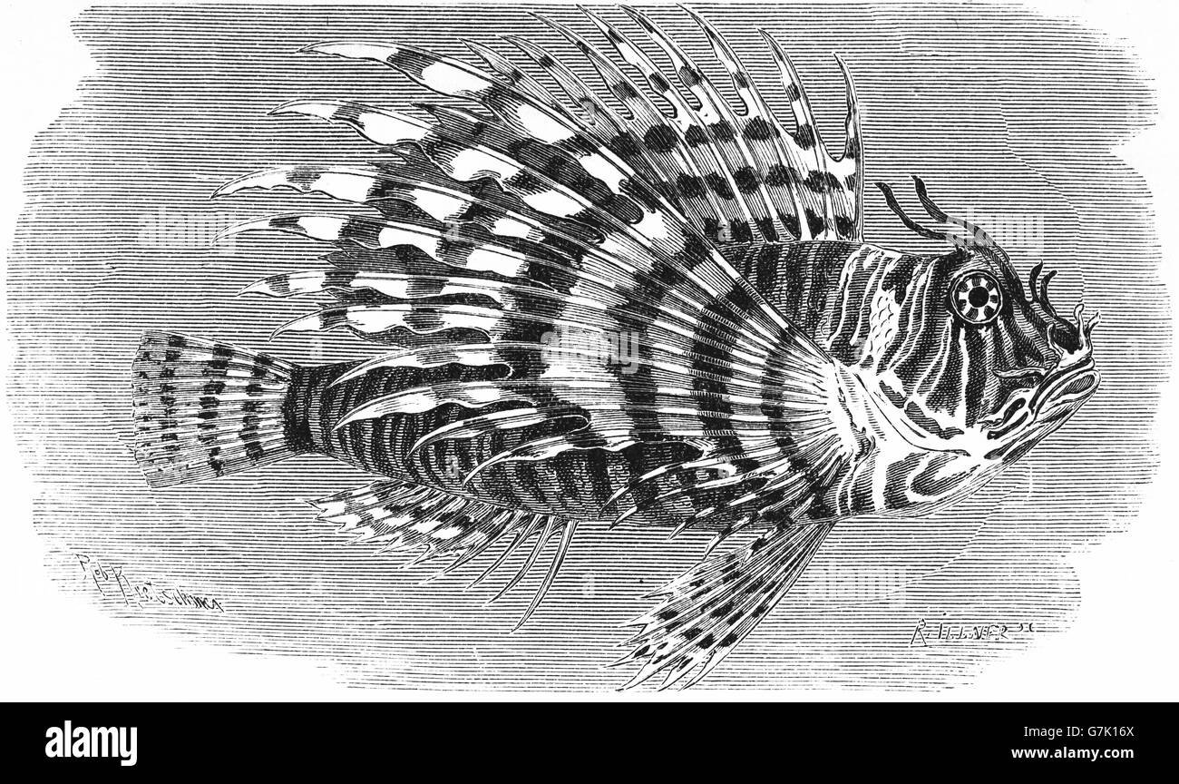 Red lionfish, Pterois volitans, venomous, coral reef, illustration from book dated 1904 - Stock Image