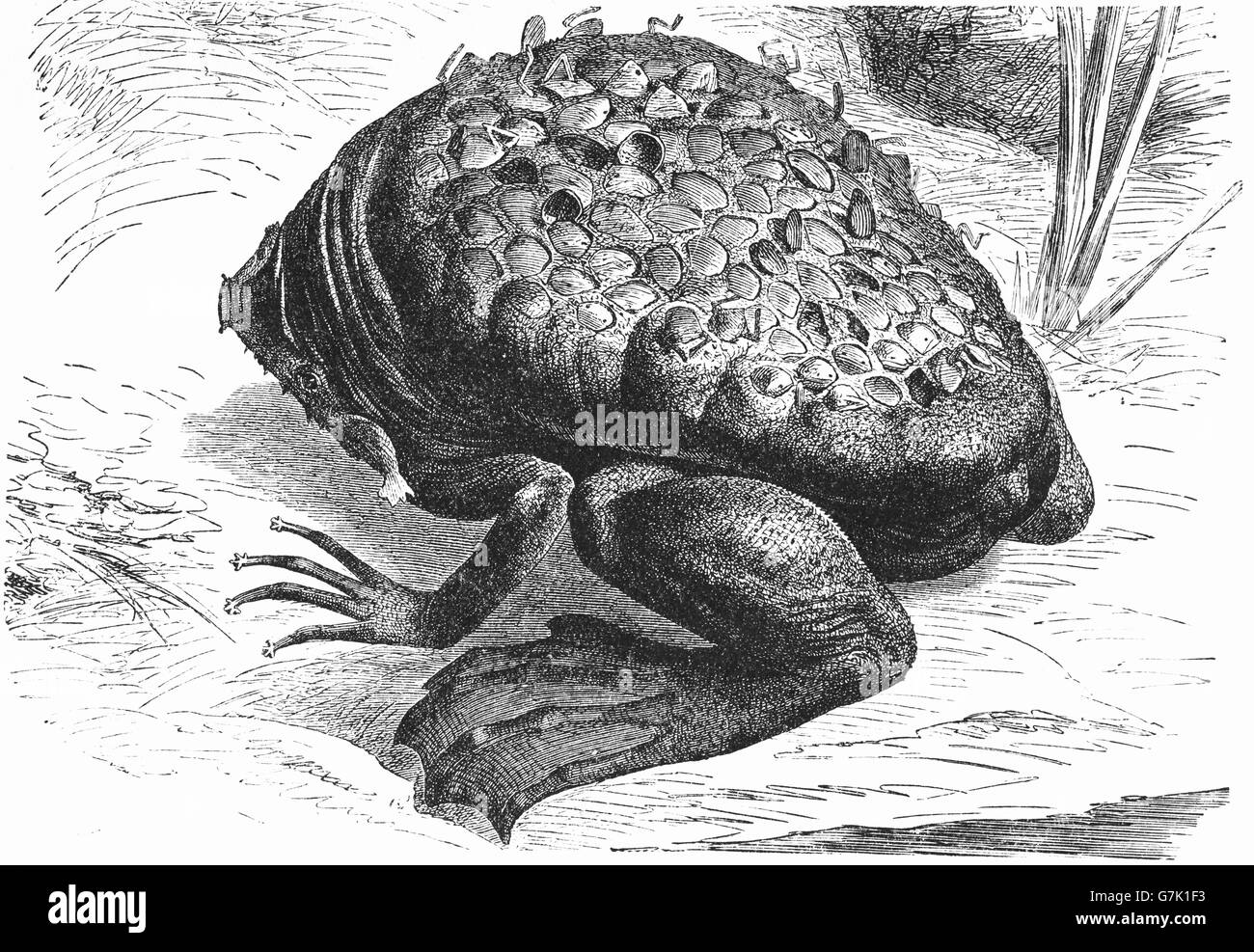 Common Suriname toad, star-fingered toad, Pipa pipa, Pipa americana, illustration from book dated 1904 - Stock Image