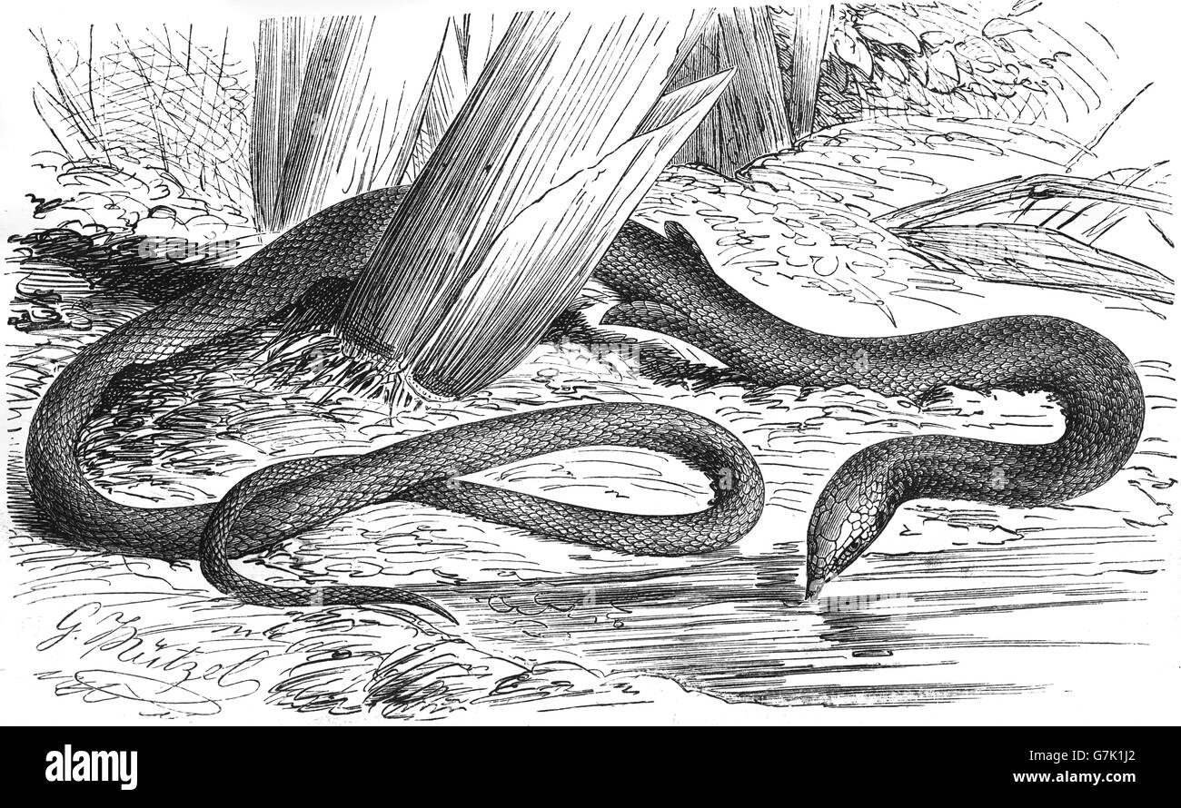 Common scaly-foot, Pygopus lepidopodus, legless lizard, illustration from book dated 1904 - Stock Image
