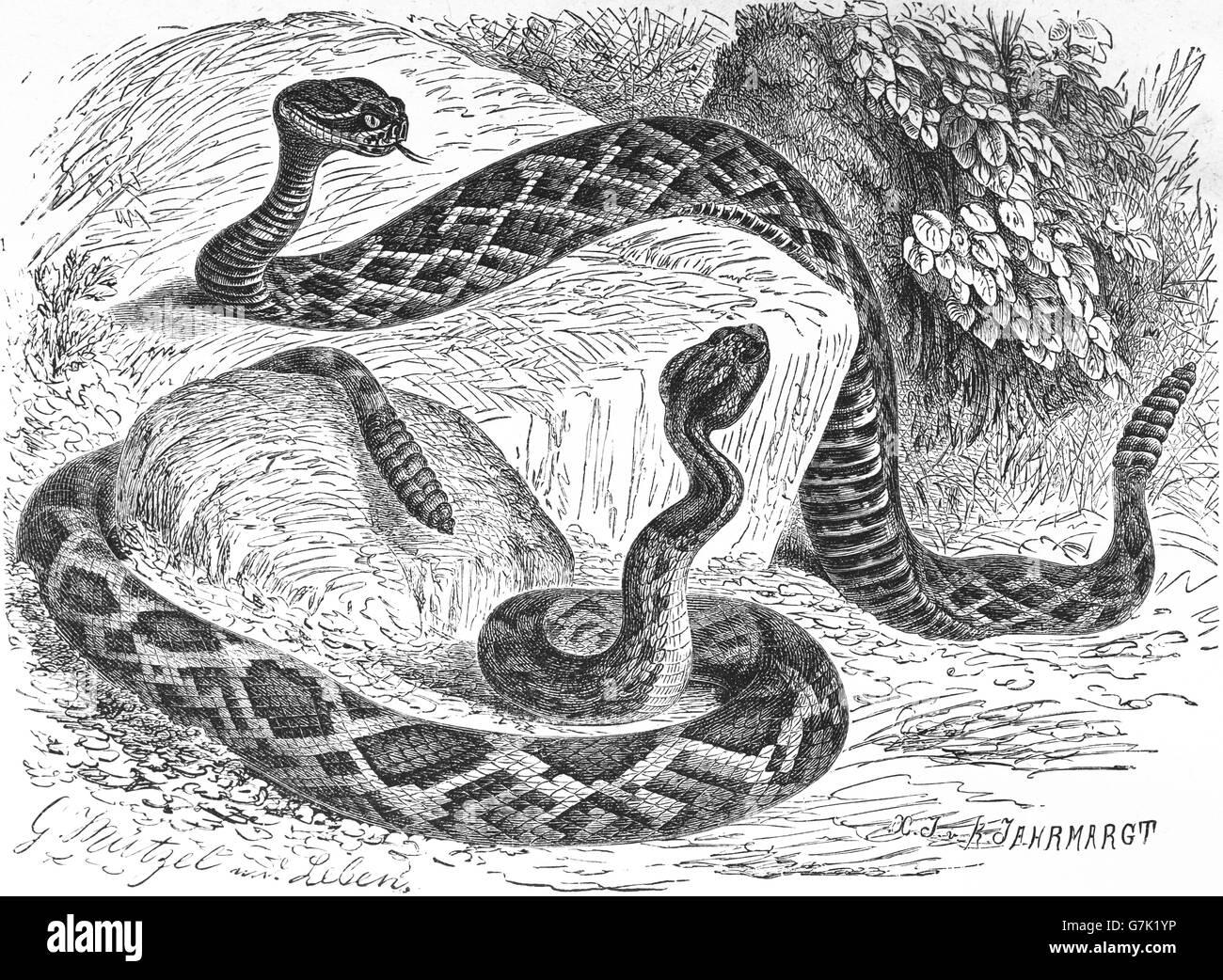 Eastern diamondback rattlesnake, Crotalus adamanteus and Timber rattlesnake, Crotalus horridus, illustration from Stock Photo