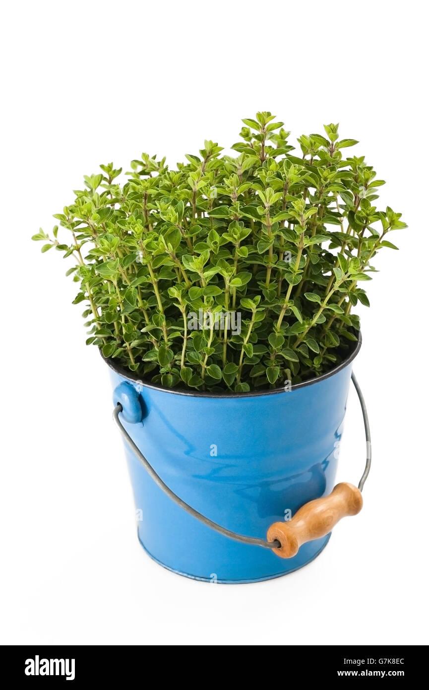 oregano plant in vase isolated on white - Stock Image