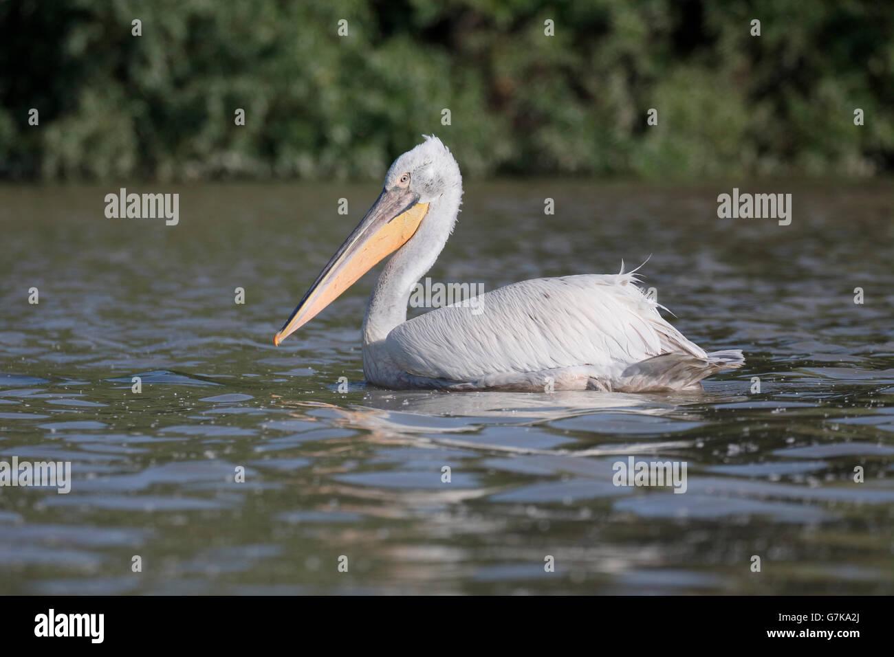 Dalmatian pelican, Pelecanus crispus, single bird on water,   Romania, June 2016 - Stock Image