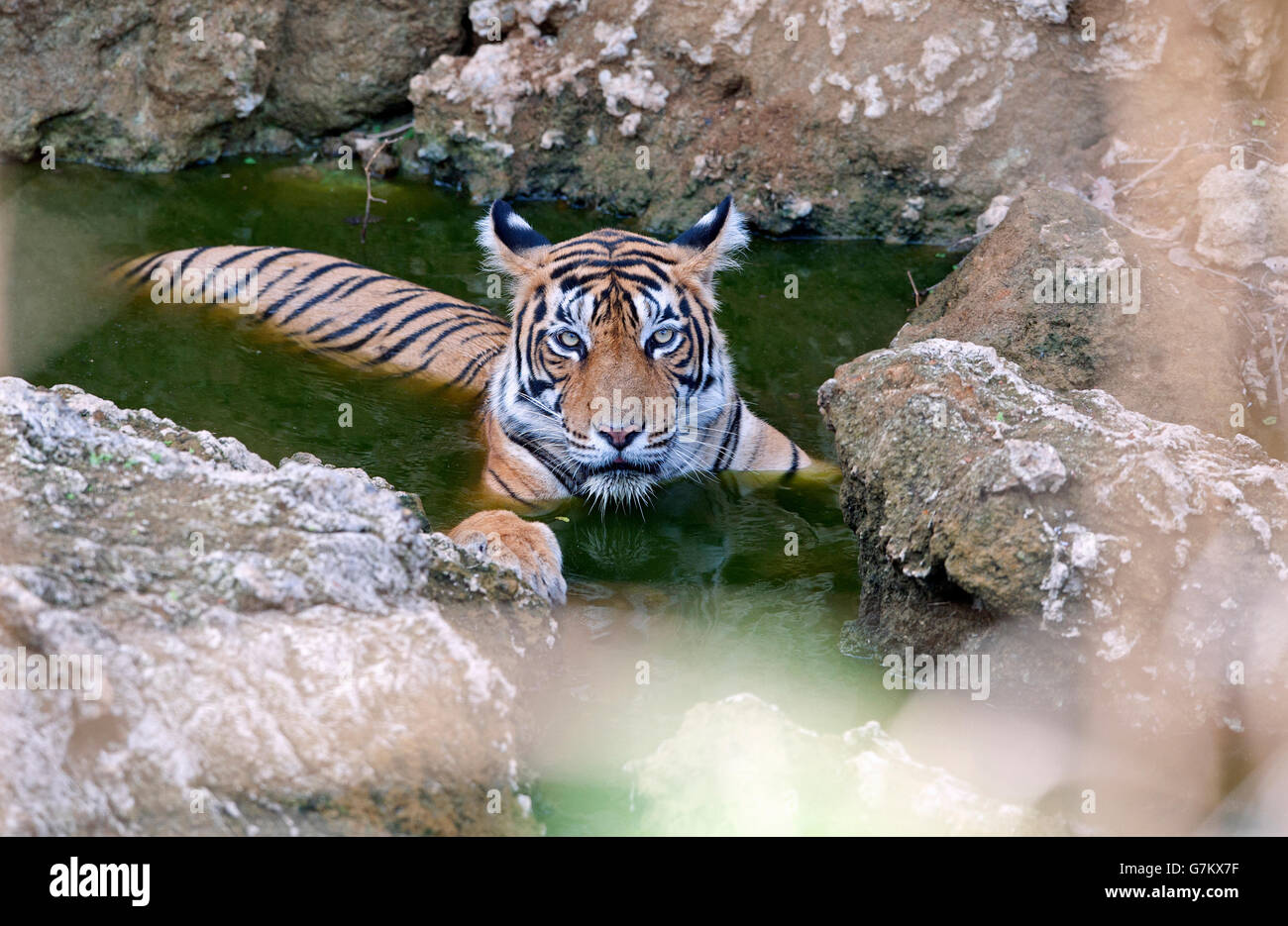 The image of Tiger ( Panthera tigris ) T60 was taken in Ranthambore, India Stock Photo