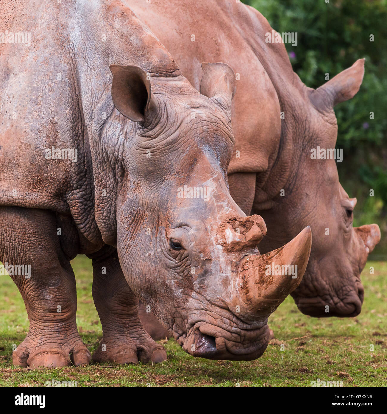 White Rhinoceros duo seen at the South Lakes Safari Zoo during the summer of 2016. - Stock Image