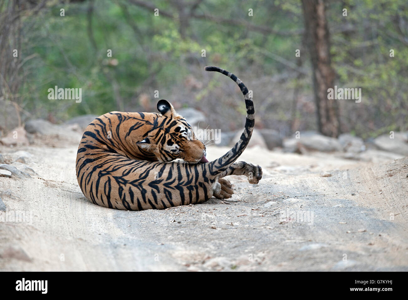 The image of Tiger ( Panthera tigris ) Pacman or T85 was taken in Ranthambore, India Stock Photo