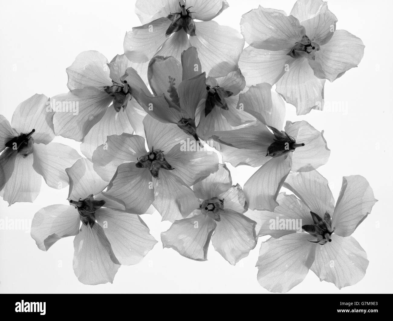 Flowers. Morning Glories on background with light passing through them. Artistic rendering - Stock Image