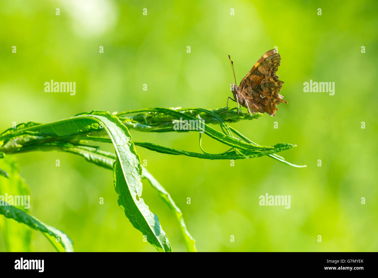 Abstract macro nature picture of a Comma butterfly (Polygonia c-album) resting on vegetation in grassland on a green - Stock Image