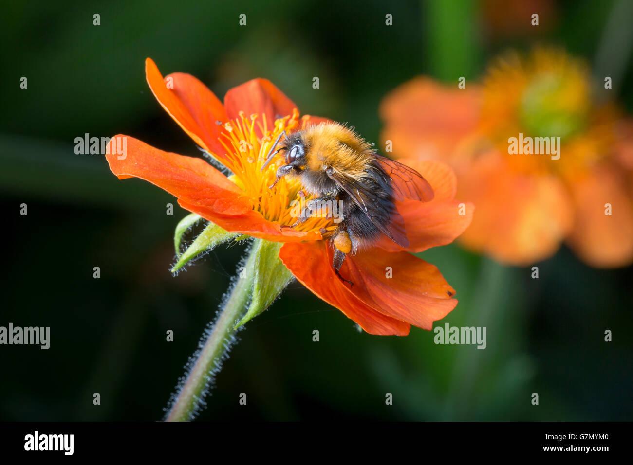 Bumble bee on orange flower close up image. Stock Photo