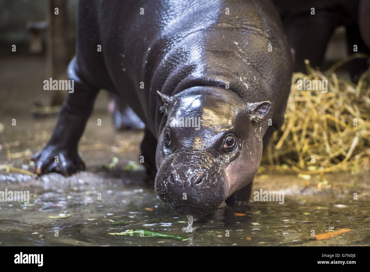 Hippo Birthday Cake Stock Photos Hippo Birthday Cake Stock Images