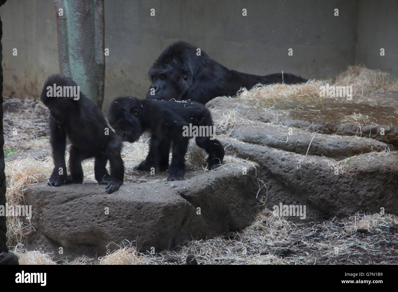 Visitors can interact with lowland gorillas and other primates at the Geigy Primate House at Basel Zoo, Basel, Switzerland. - Stock Image