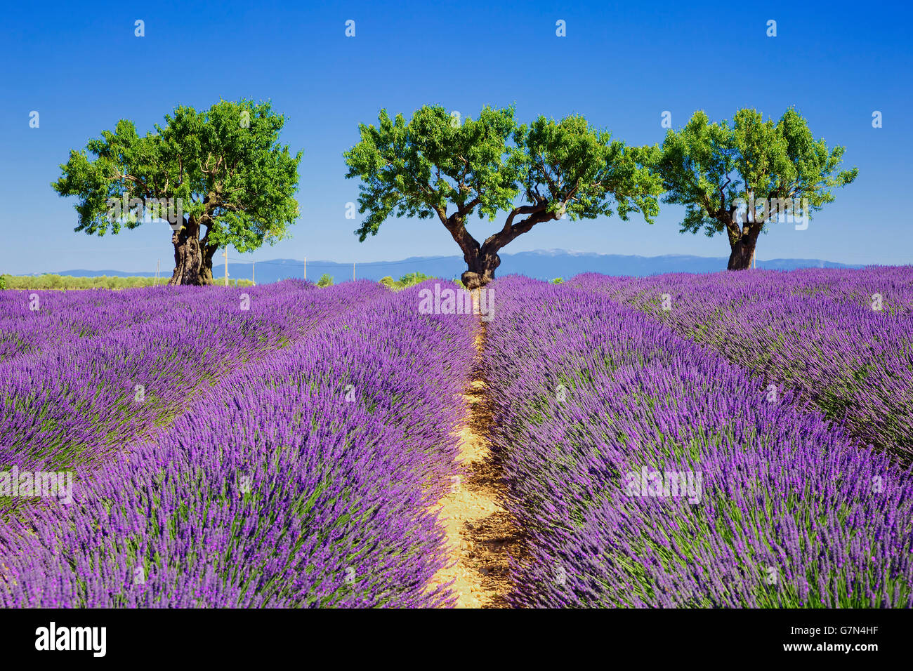lavender fields of the French Provence Stock Photo