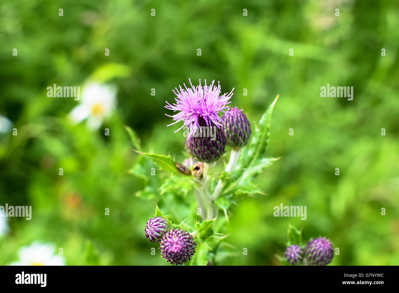 Purple thistle flower against green foilage, National symbol of Scotland - Stock Image
