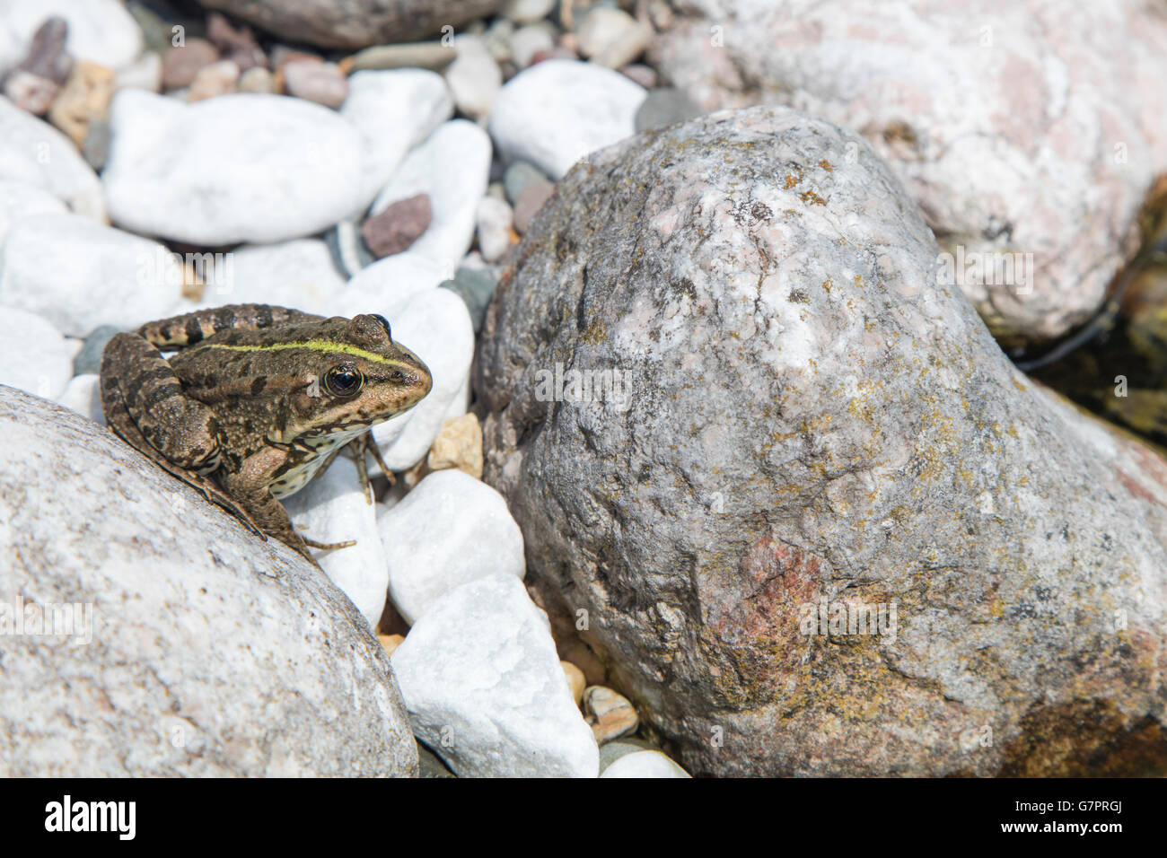 Detail of european frog on a rounded river stone on a sunny day - Stock Image
