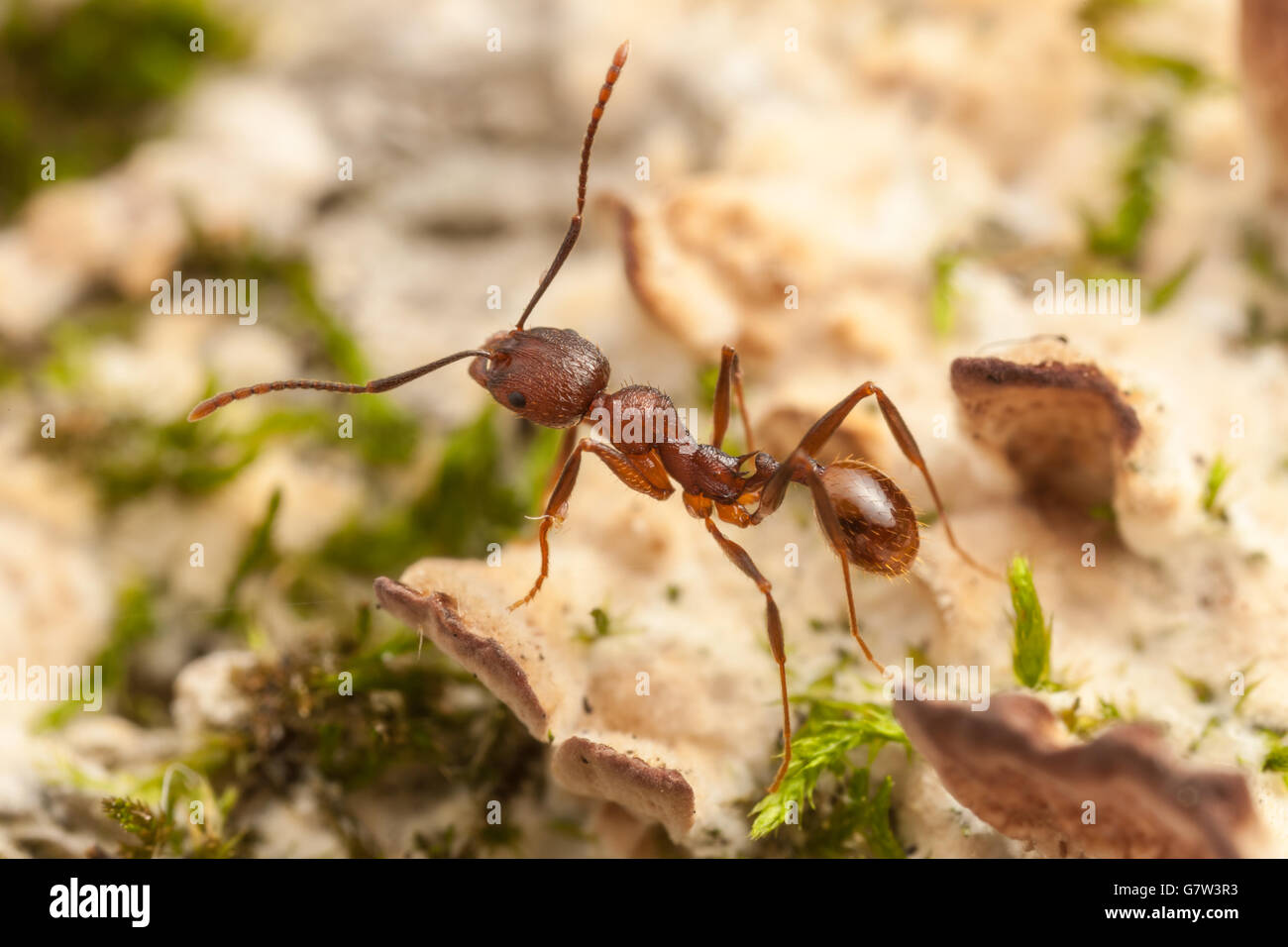 A Spine-waisted Ant (Aphaenogaster fulva) worker explores the fungus and moss covered surface of a fallen dead tree. - Stock Image