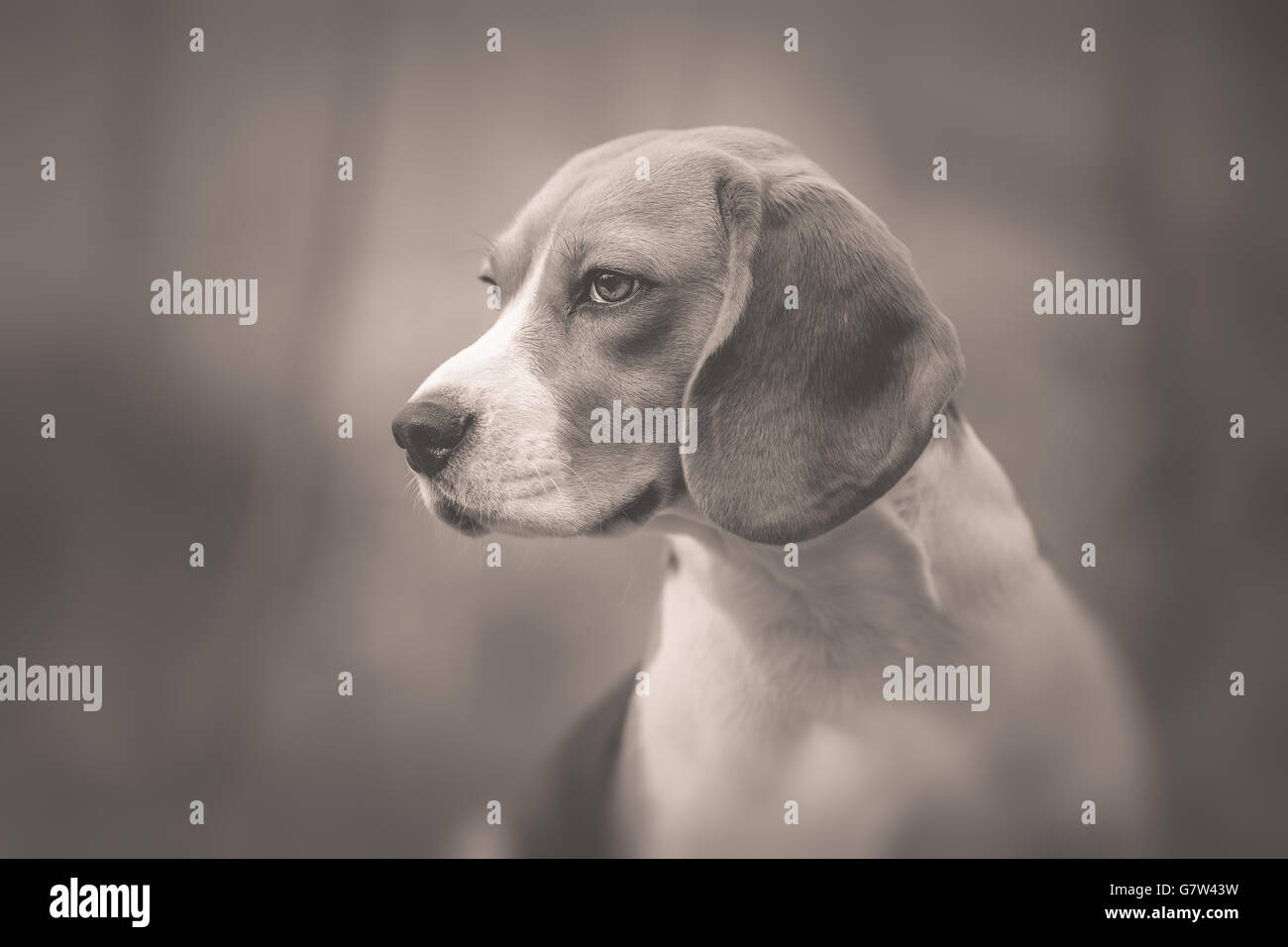 Monochrome portrait of beautiful Beagle dog - Stock Image