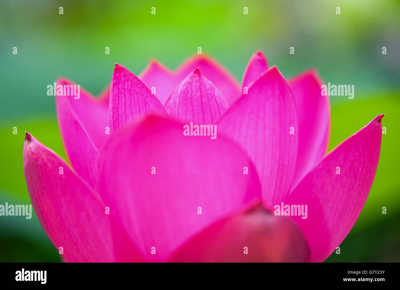 Gross Rietz Germany 26th June 2016 A Lotus Flower Pictured At