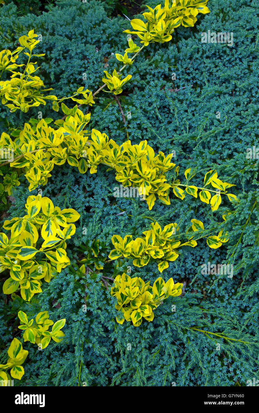 Euonymus fortunei Emerald 'n' Gold leaves growing over conifer - Stock Image