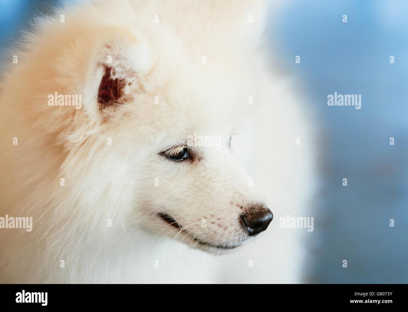 White Samoyed Dog Puppy Whelp Close Up - Stock Image