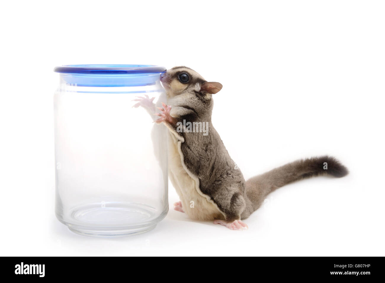 Sugarglider finding something from glass bottle on white background. - Stock Image