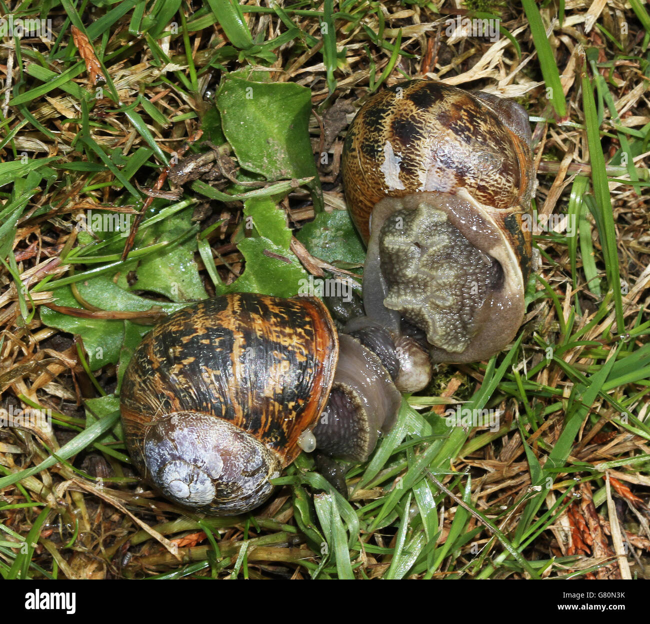 Garden snails mating in grass. - Stock Image