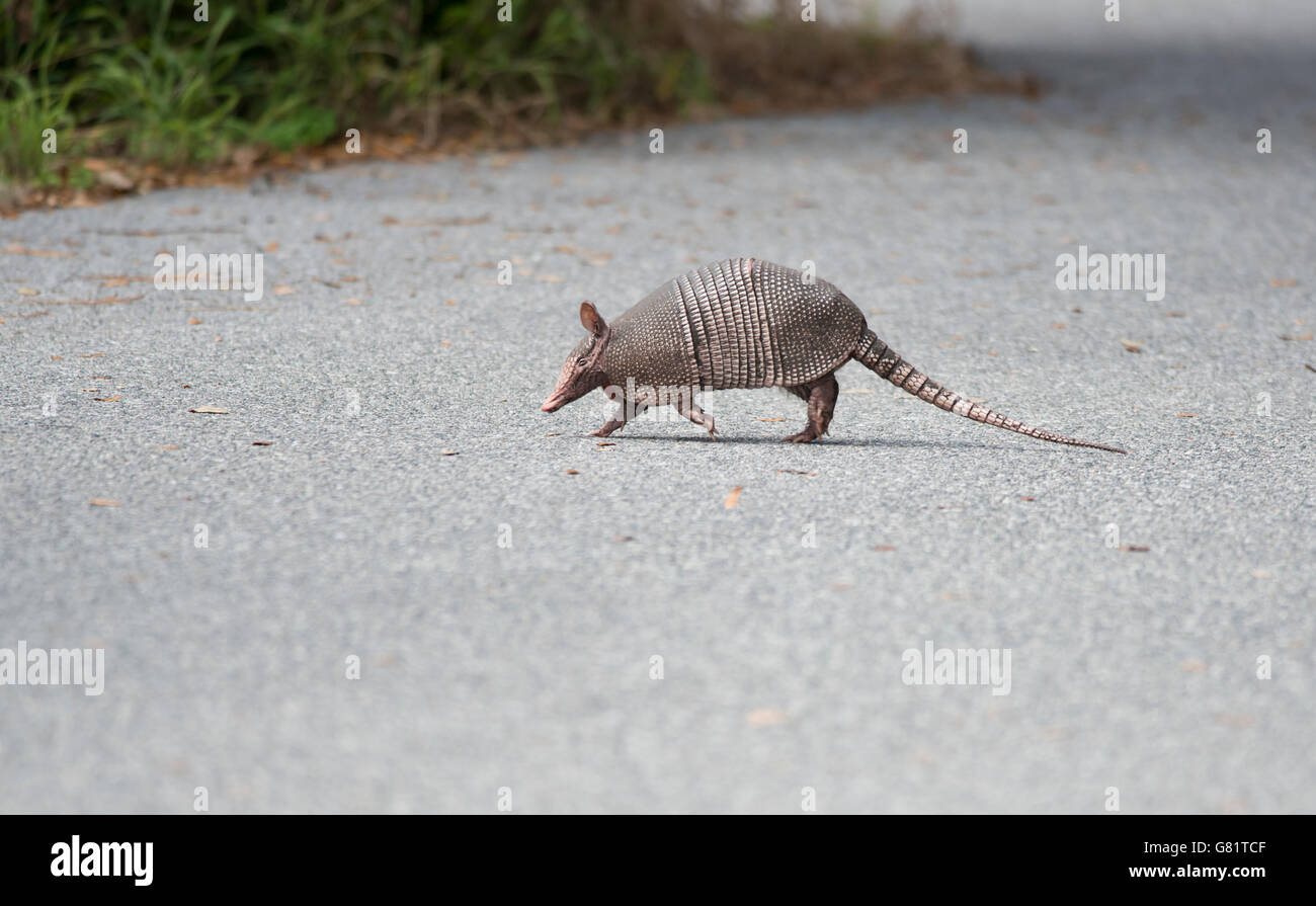 wild armadillo crossing a road in Florida - Stock Image
