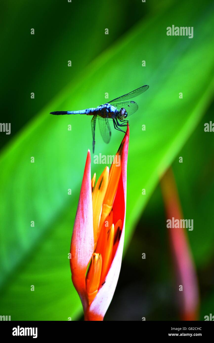 Blue dragonfly on a heliconia flower, Borneo - Stock Image