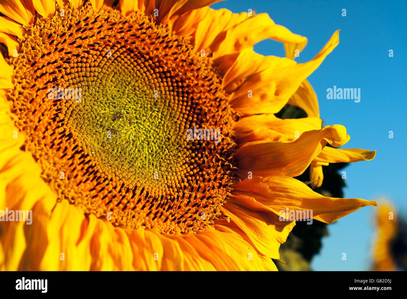 Sunflower large and yellow Stock Photo