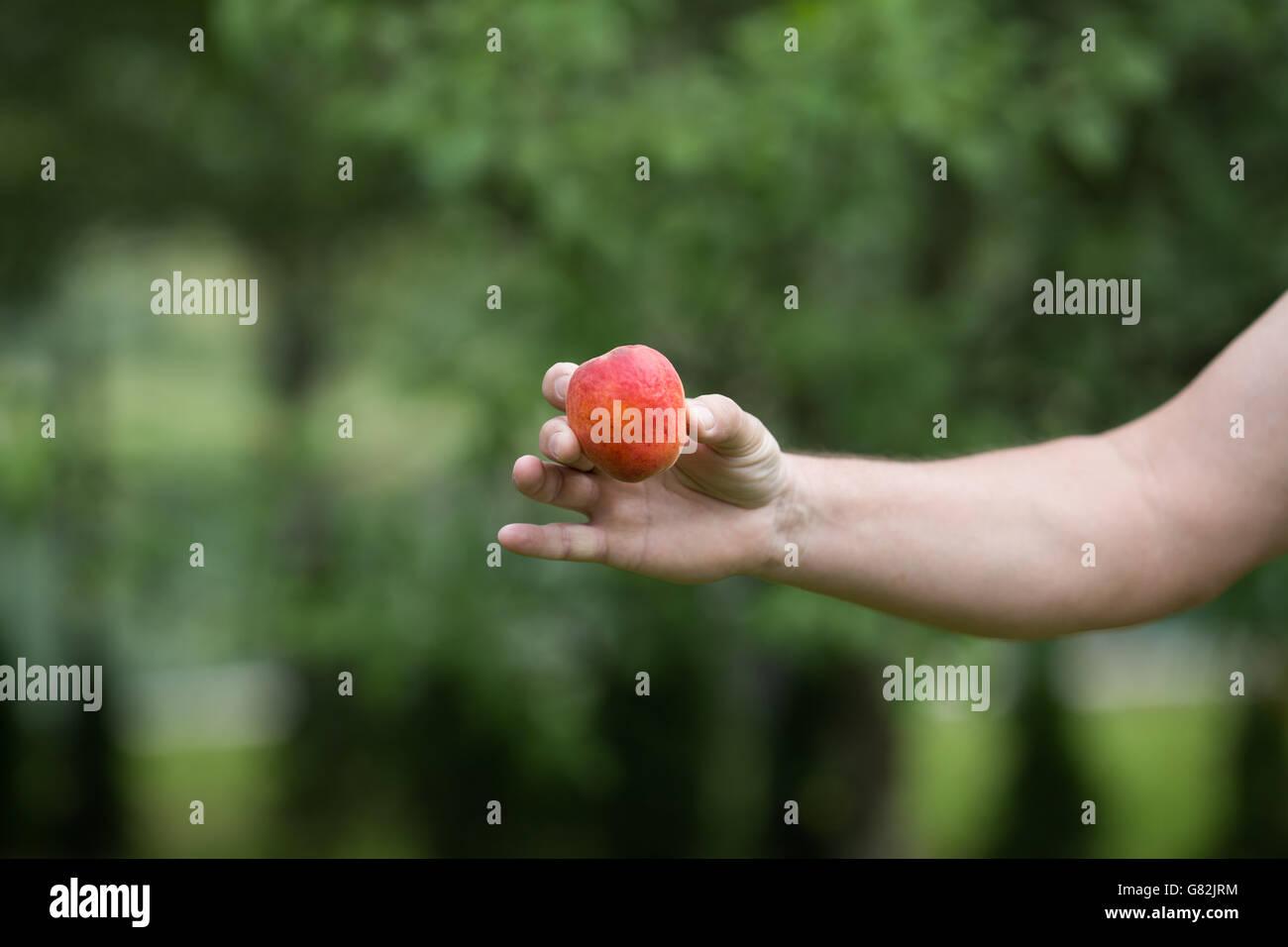 Man holding apricot - Stock Image