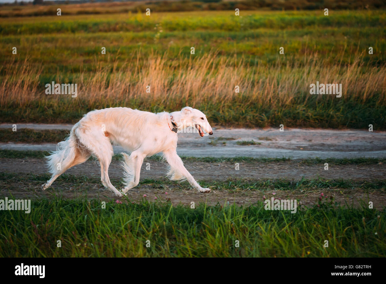 White Russian Borzoi Gazehound Fast Running In Summer Meadow. These Dogs Specialize In Pursuing Prey, Keeping It Stock Photo