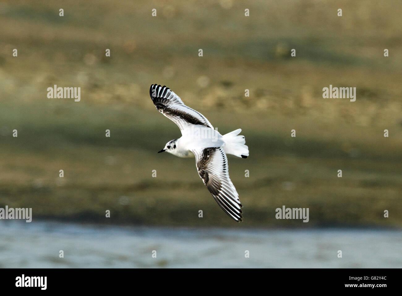 Little Gull (Larus minutus) - in flight in 1st winter plumage - Stock Image