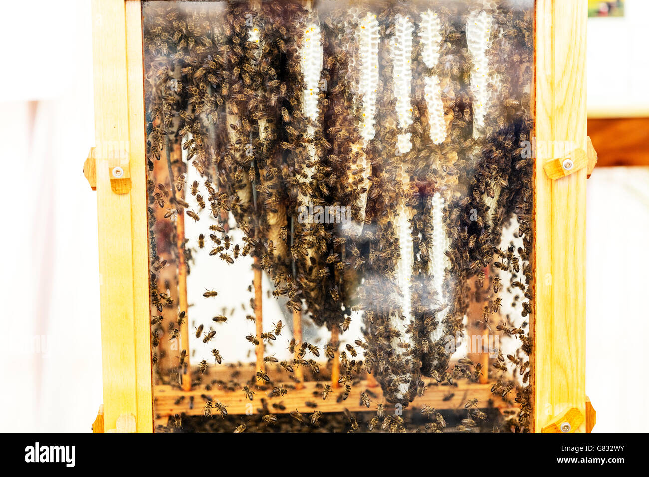 Apiary bee hive inside bees working worker bees making honey honeycomb interior UK England GB - Stock Image