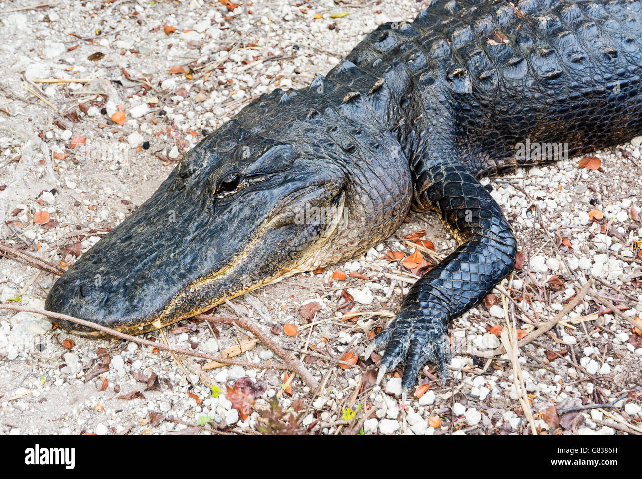 Florida, Everglades National Park, Anhinga Trail, view from boardwalk, American Alligator (Alligator mississippiensis) - Stock Image